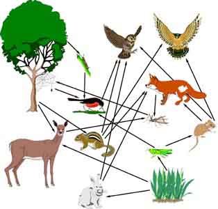 What Is The Difference Between Food Chains And Food Webs