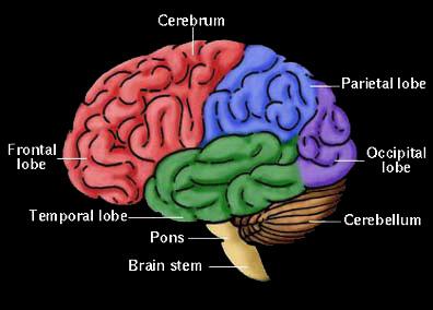 The brain - ScienceBob.com